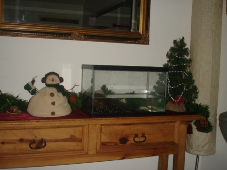 Turtles love Christmas!